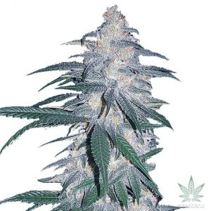 blue dream seeds usa