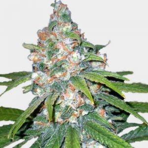feminized_seeds-auto-super-lemon-haze- seeds-seed-king