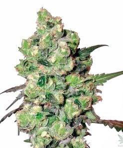 feminized_super_skunk_cannabis_seeds_seedking