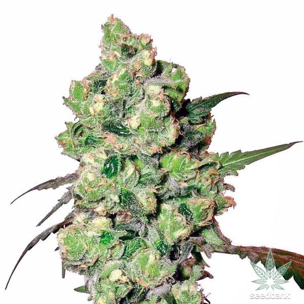 feminized_super_skunk_cannabis_seeds_seedking