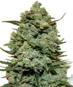 girl-scout-cookies-seeds