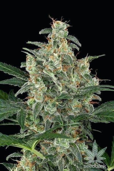 gold-leaf-cannabis-seeds-seedking.com
