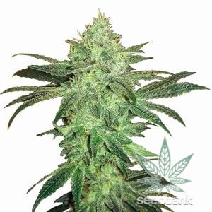 gorilla-glue-#4-seeds-1