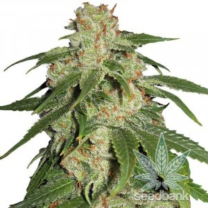 feminized jack herer cannabis seeds
