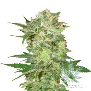 mazar-kush-seed-king-seeds-usa