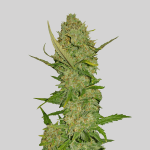pineapple-express-seeds-cannabis-seedking.com