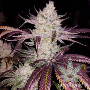 platinum_cookies_seeds_platinum_scout_usa_seed_kings