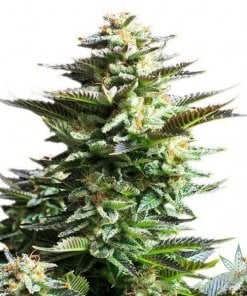 products-seeds-white-fire-alien-kush-1-600x600