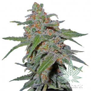 purple-urkle-02