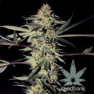 san_fernando_valley_kush_seeds_sfv_kush_seedking.com
