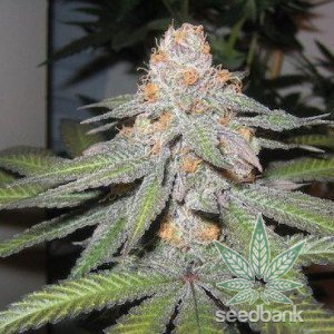 seeds-purple-urkle-3_grande