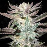 seeds-white-fire-alien-kush-2_grande