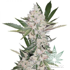 strawberry-cough-seeds-seedking.com