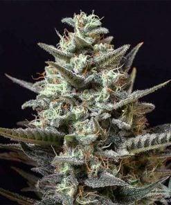 sweet-tooth-seeds-feminized-cannabis-seeds