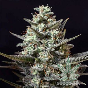 sweet-tooth-seeds-feminized-cannabis-seeds