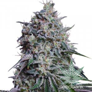 sweet-tooth-seeds-feminized-marijuana-seeds