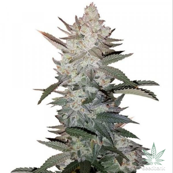 true-og-kush-seeds-seedking