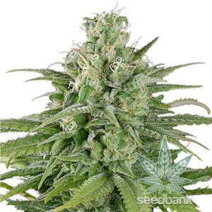 UK Cheese Seeds USA