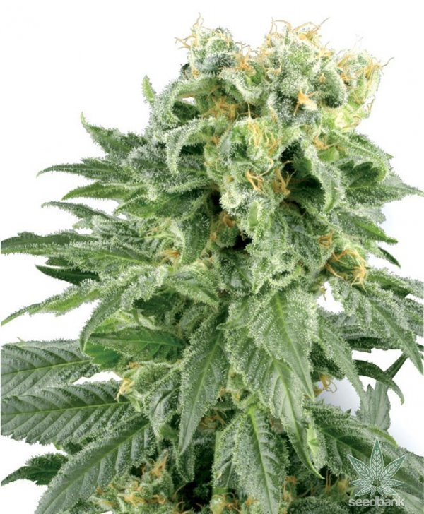 white-rhino-cannabis-seeds-seed-king