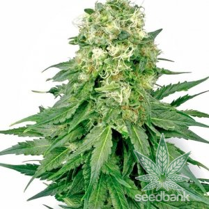 white-rhino-seeds-seed-king