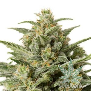 white-widow-auto-feminized