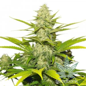 feminized white widow seeds