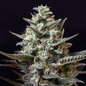 sweet tooth seeds feminized marijuana seeds