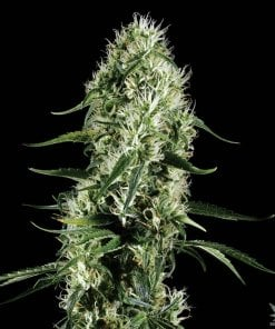 CBD_super_silver_haze_seeds_feminized_cannabis_seeds_online