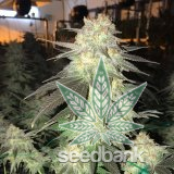 bubblegum-strain-cannabis-seeds-bubble-gum-seeds