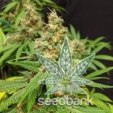 critical_mass_seeds_feminized_autoflowering_cannabis_critical_mass_strain_usa