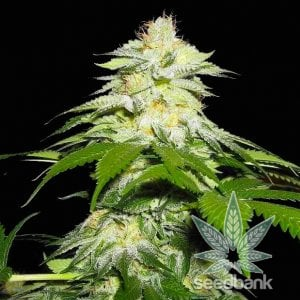 fire-og-strain-cannabis-seeds