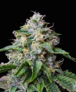 skywalker-og-strain-cannabis-seeds