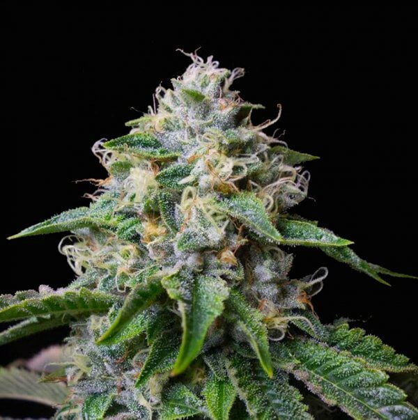 skywalker og strain cannabis seeds