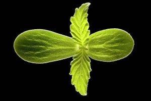 cannabis seedling cotyledon