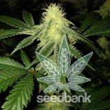amnesia_haze_strain_amnesia_cannabis_seeds