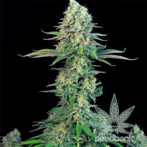 bubblegum-seeds-cannabis-strain-usa