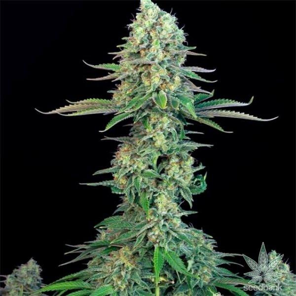 bubblegum-seeds-cannabis-strain-usa