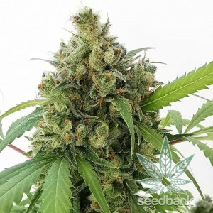 strawberry_cough_seeds_strawberry_cough_strain