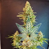 white_rhino_seeds_white_rhino_strain_USA