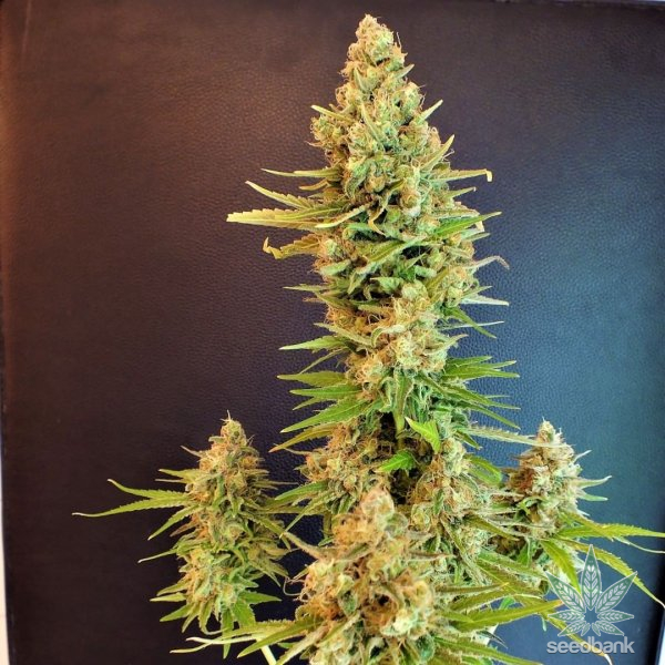 white rhino marijuana seeds