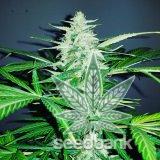 blue_dream_strain_cannabis_seeds_usa