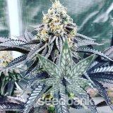 bubba_kush_strain_marijuana_seeds_usa