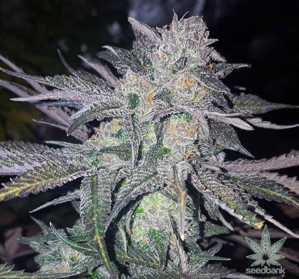 CBD White Widow strain