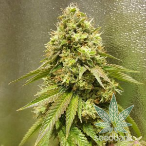 24K Gold strain marijuana seeds usa