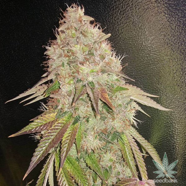 24KGold marijuana seeds usa