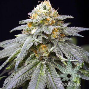 3 kings seeds three kings strain