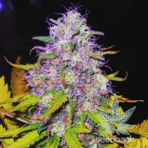 purple haze marijuana seeds usa