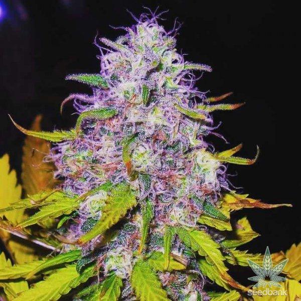 purple haze marijuana seeds usa