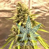 trainwreck strain cannabis seeds