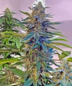 Blue Widow seeds